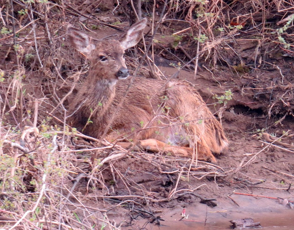 Baby Deer on the bank looking wet like it had just swam the river